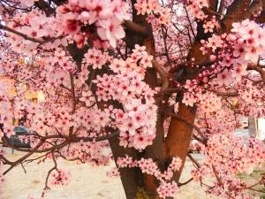 pruned tree flowering