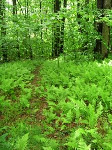 trail thru ferns