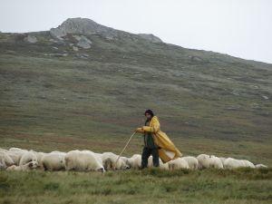 shepherd_2